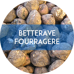 betterave fourragère